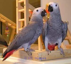 AFRICAN GREY PARROTS FOR REHOMING
